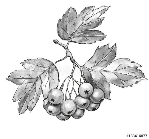 Hawthorn Berry (whole)
