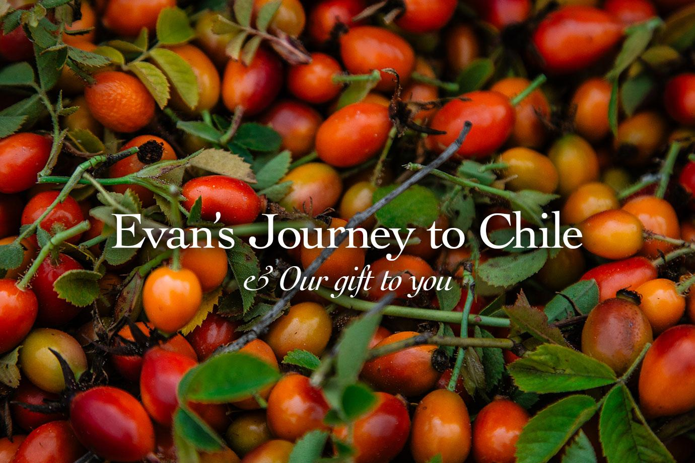 Our Rosehip Story ~ Evans Journey to the Chilean Wilderness