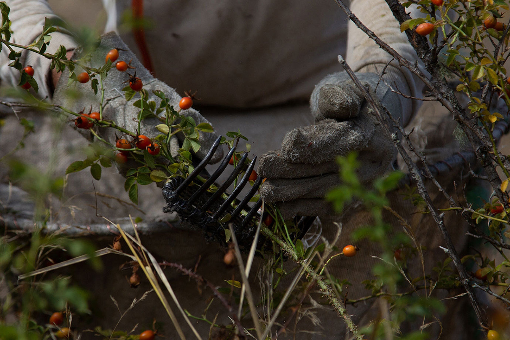 protective gear, gloves to collect the rosehip