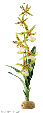 Exo Terra rainforest plants Spider orchid