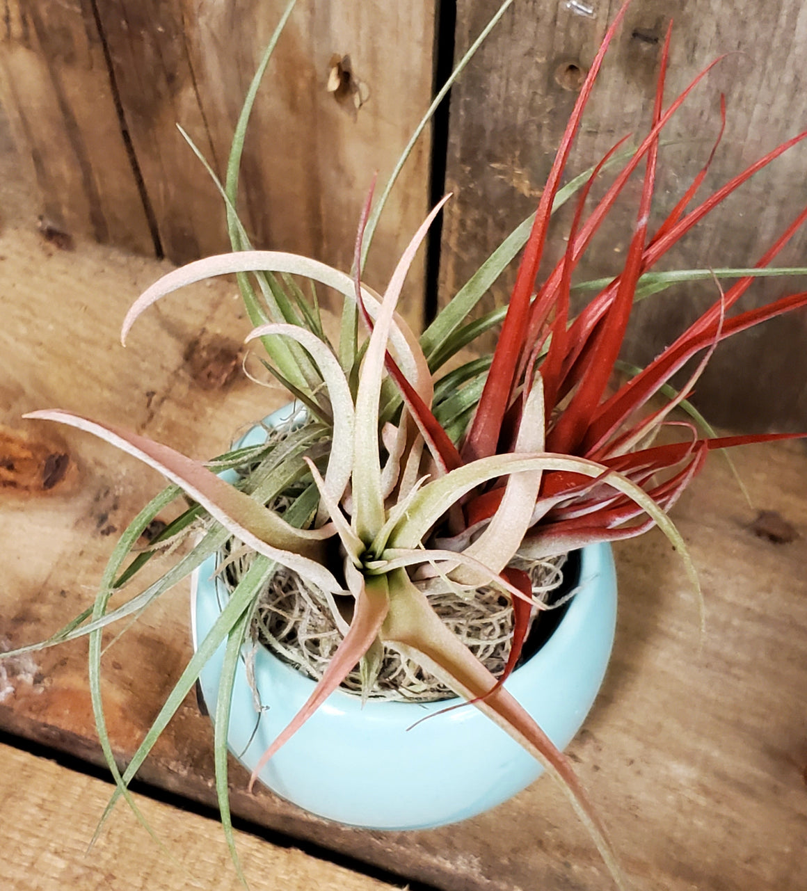 Air Plant, Florist's Choice