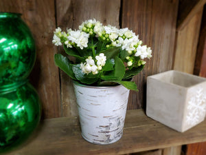 White Kalanchoe Blooming Plant