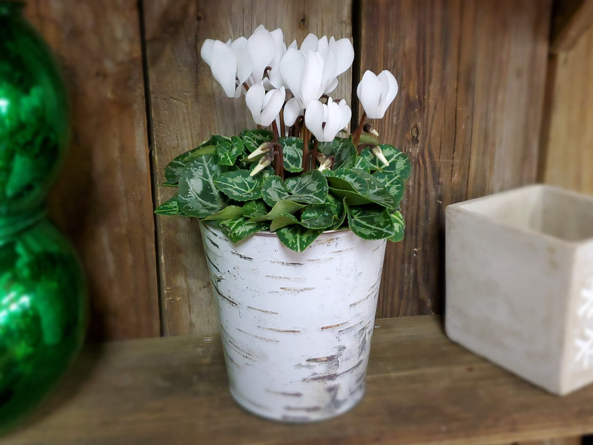 White Cyclamen Blooming Plant