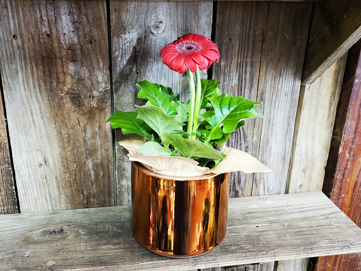 "Copper Colored Planter (with or without 4"" Plant)"