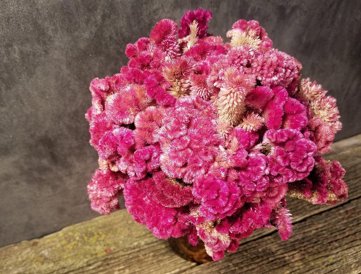 Dried Rose Celosia Flowers, Dried Rose Cockscomb