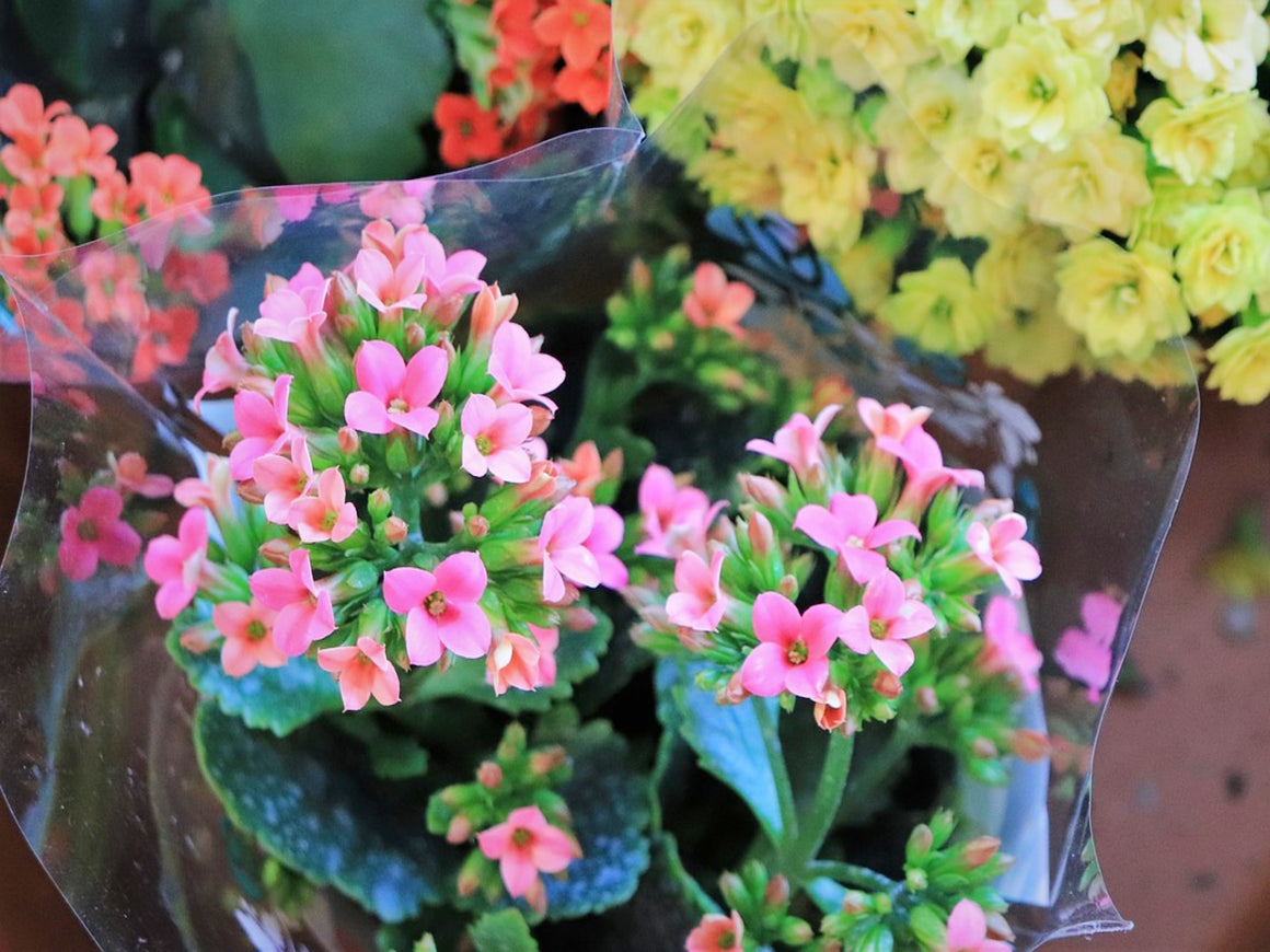 Blooming Plant, Florist's Choice