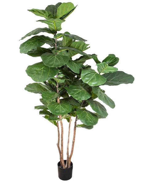 Fiddle Leaf Grande