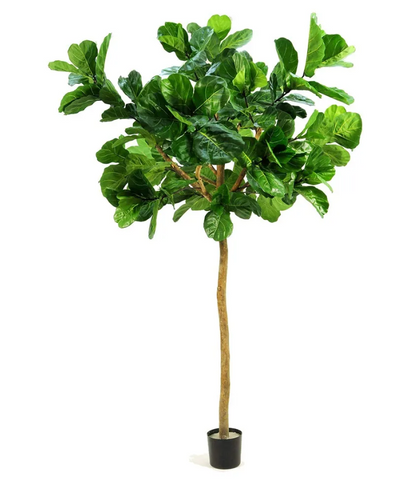 Fiddle Leaf Topiary Grande