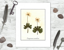 Load image into Gallery viewer, Bloodroot Botanical Print