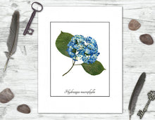Load image into Gallery viewer, Blue Hydrangea Botanical Print