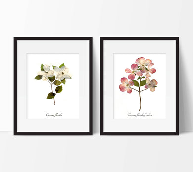 Dogwood Print by local Philadelphia artist