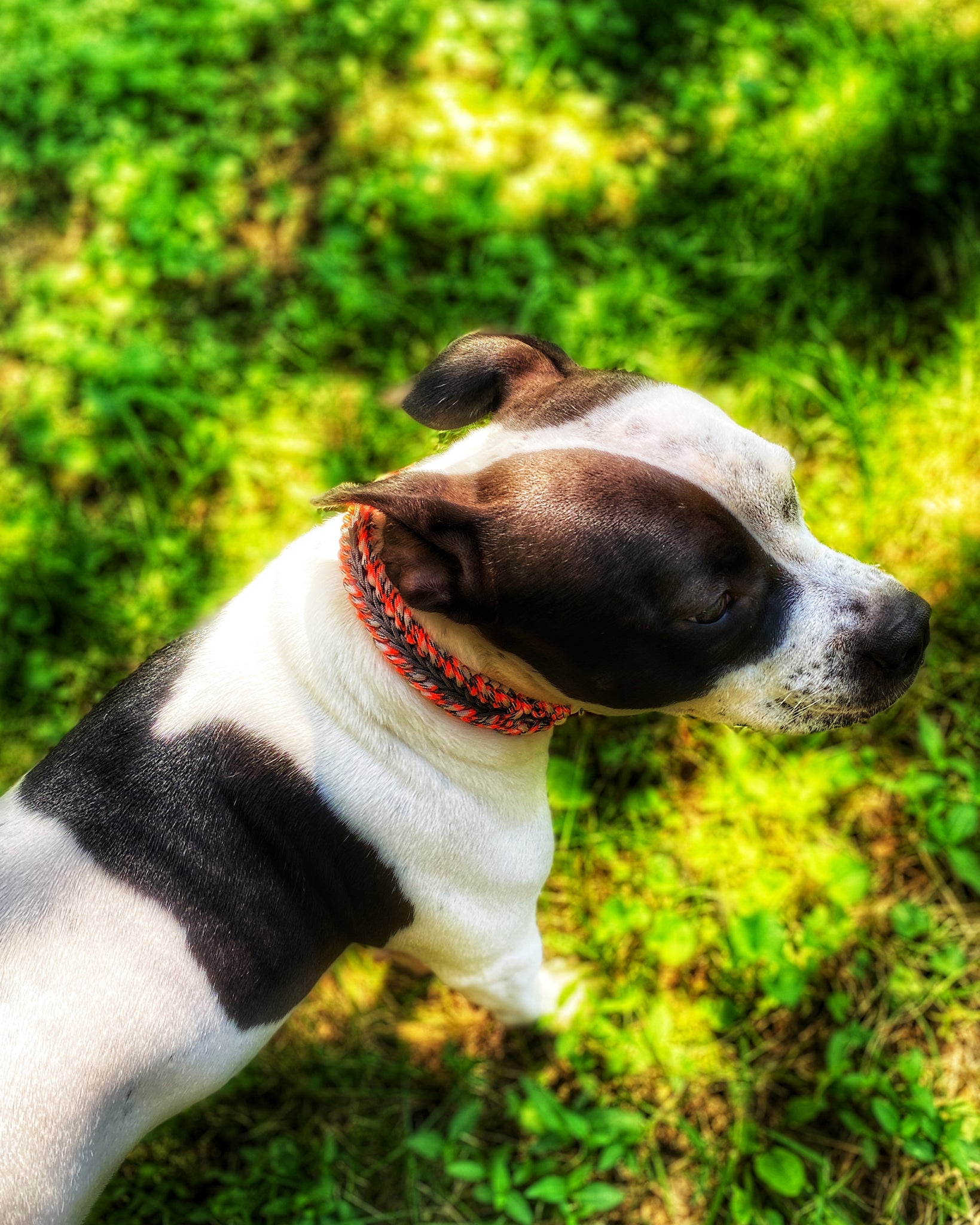 HARVEST Dog Collar