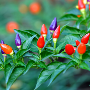 Ornamental Pepper七彩椒#V066 - Songsco.com - Ocean Nursery