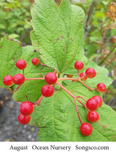 Load image into Gallery viewer, Cranberry Bush