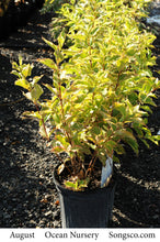 Load image into Gallery viewer, Dwarf Variegated Weigela - Songsco.com - Ocean Nursery