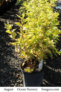 Dwarf Variegated Weigela - Songsco.com - Ocean Nursery
