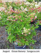 Load image into Gallery viewer, Hydrangea, Magical Fire - Songsco.com - Ocean Nursery