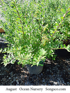 Snowmound Spirea - Songsco.com - Ocean Nursery