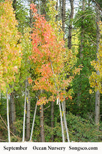 Load image into Gallery viewer, Autumn Blaze Maple - Songsco.com - Ocean Nursery