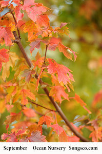Autumn Blaze Maple - Songsco.com - Ocean Nursery