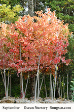 Load image into Gallery viewer, Autumn Fantasy Maple - Songsco.com - Ocean Nursery