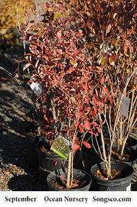Gray Dogwood - Songsco.com - Ocean Nursery