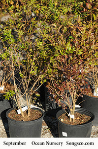 Ibolium Privet - Songsco.com - Ocean Nursery
