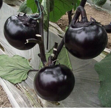 Load image into Gallery viewer, Round Eggplant圆茄#V078 - Songsco.com - Ocean Nursery
