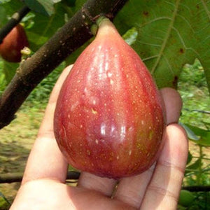 Fig-无花果#V045 - Songsco.com - Ocean Nursery