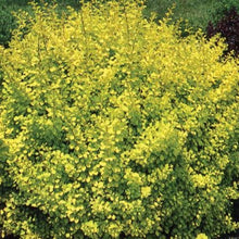 Load image into Gallery viewer, Dwarf Golden Barberry - Songsco.com - Ocean Nursery