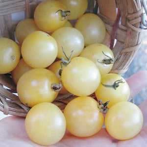Cherry Tomato-White Sugar#V022 - Songsco.com - Ocean Nursery