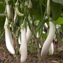 Load image into Gallery viewer, White Eggplant白玉茄#V041 - Songsco.com - Ocean Nursery