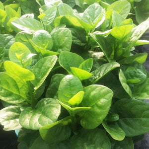 Malabar Spinach大叶木耳菜#V063 - Songsco.com - Ocean Nursery