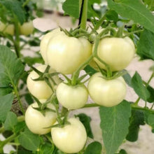 Load image into Gallery viewer, Cherry Tomato-White Sugar#V022 - Songsco.com - Ocean Nursery