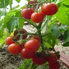 Load image into Gallery viewer, Cherry Tomato矮秧红色番茄#V029 - Songsco.com - Ocean Nursery