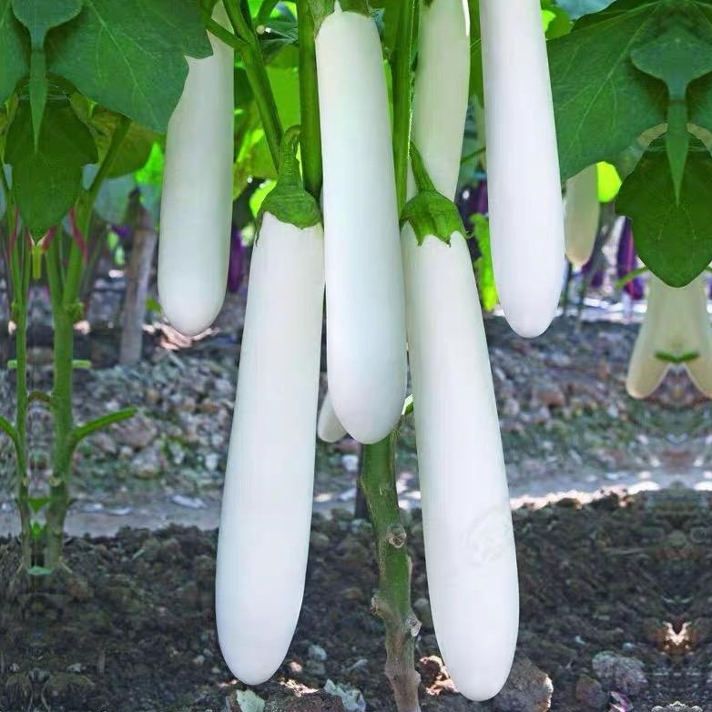 White Eggplant白玉茄#V041 - Songsco.com - Ocean Nursery