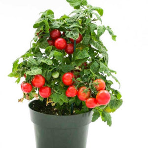 Cherry Tomato矮秧红色番茄#V029 - Songsco.com - Ocean Nursery