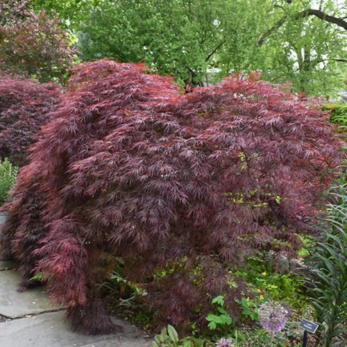 Crimson Queen Japanese Maple - Songsco.com - Ocean Nursery