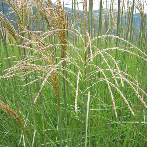 Maiden Grass, Graziella - Songsco.com - Ocean Nursery