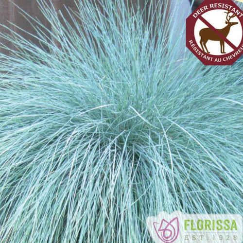 Blue Fescue, Beyond Blue - Songsco.com - Ocean Nursery