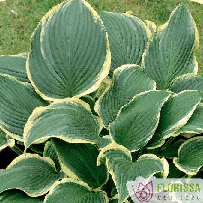Hosta, Yellow River - Songsco.com - Ocean Nursery