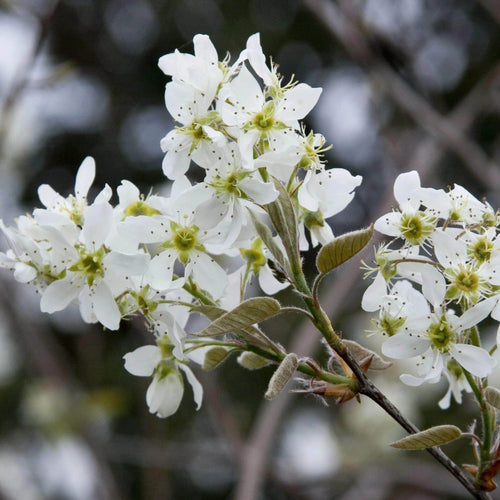 Apple Serviceberry - Songsco.com - Ocean Nursery