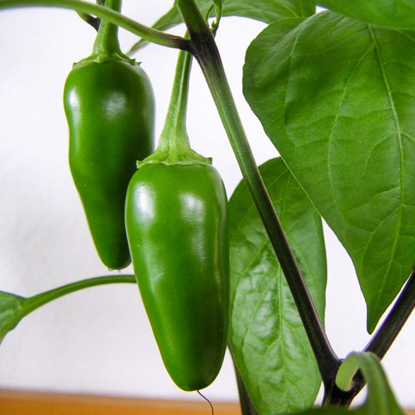 Jalapeno Pepper墨西哥辣椒#V102 - Songsco.com - Ocean Nursery