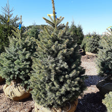 Load image into Gallery viewer, Baby Blue Blue Spruce - Songsco.com - Ocean Nursery