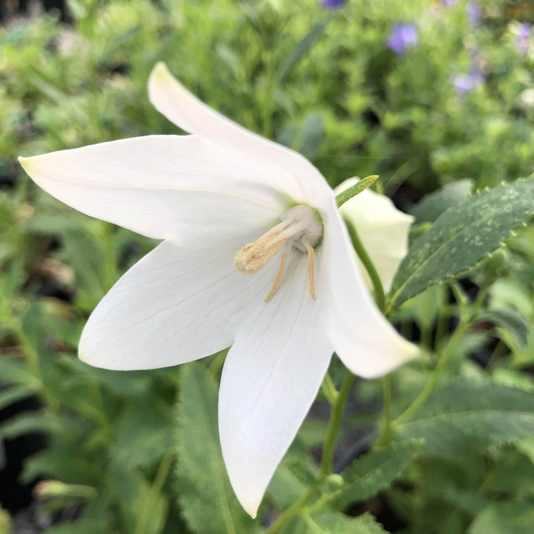 Balloon Flower,Fuji White - Songsco.com - Ocean Nursery