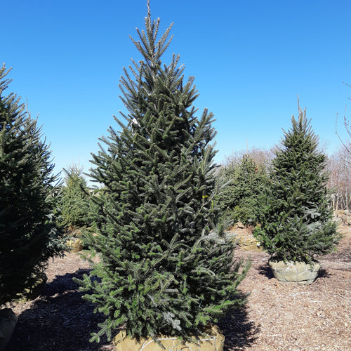 Balsam Fir - Songsco.com - Ocean Nursery
