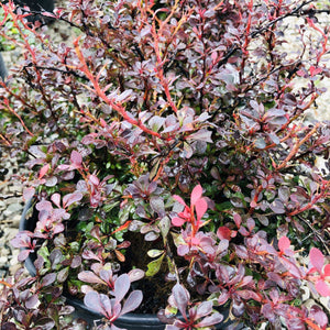 Royal Burgundy Barberry - Songsco.com - Ocean Nursery
