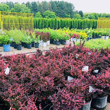 Load image into Gallery viewer, Barberry, Royal Burgundy - Songsco.com - Ocean Nursery