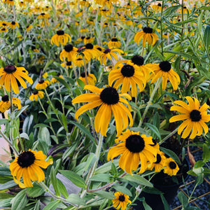 Black-Eyed Susan, 'American Gold Rush' - Songsco.com - Ocean Nursery