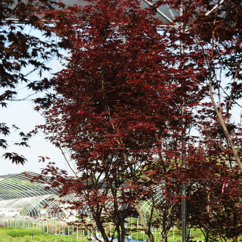 Bloodgood Japanese Maple - Songsco.com - Ocean Nursery
